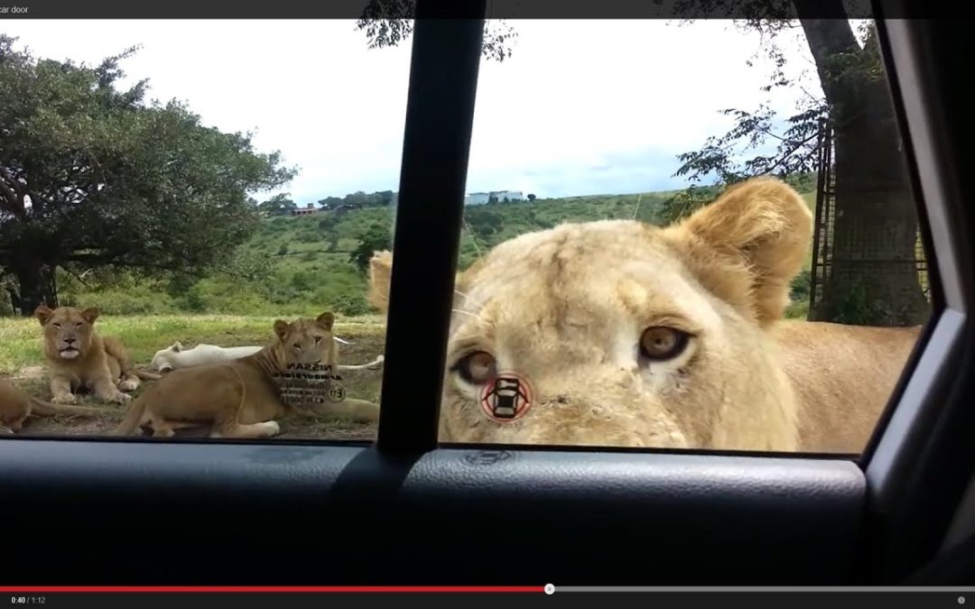 Löwe öffnet Autotür im Safari Park