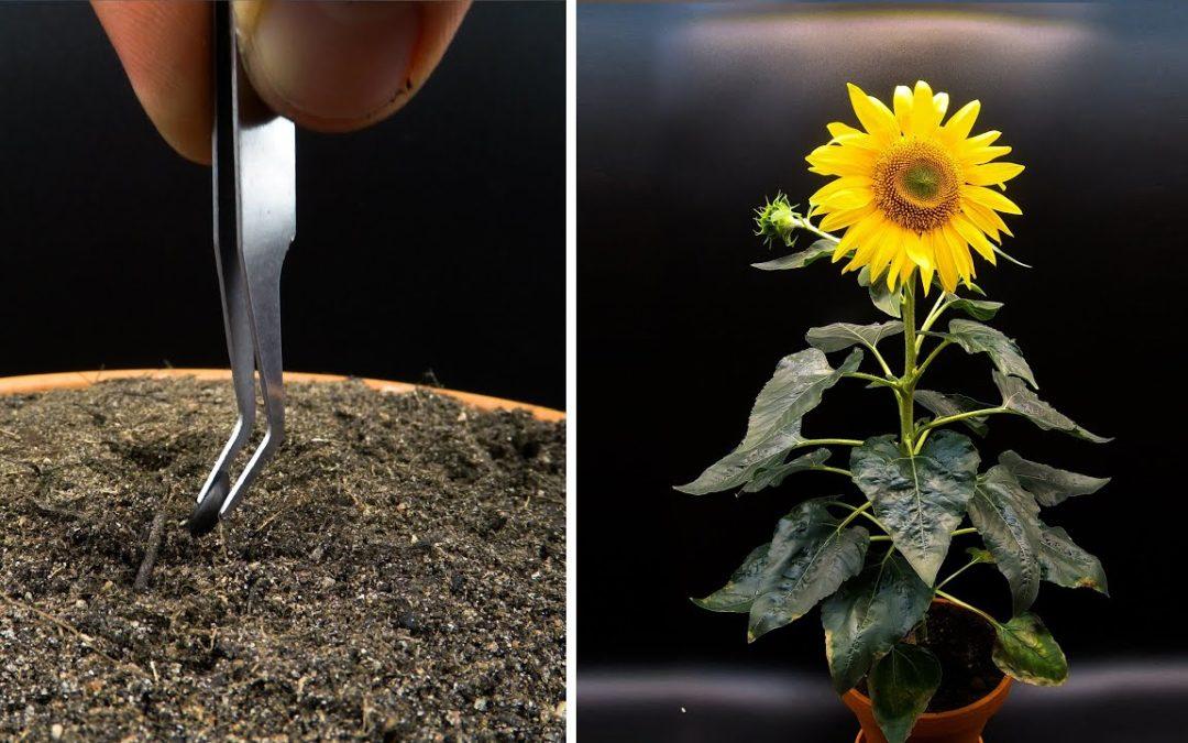 Zeitraffer einer Sonnenblume